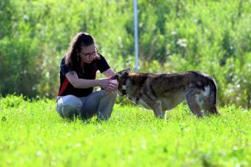 Les secrets des vieux chiens de traîneaux