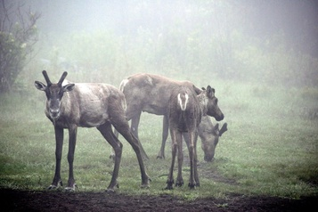 Citoyens de Longueuil, le caribou de Val-d'Or a besoin de vous! )