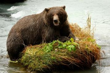 Beignets et torches de nouveau autorisés pour chasser ours et loups en Alaska)