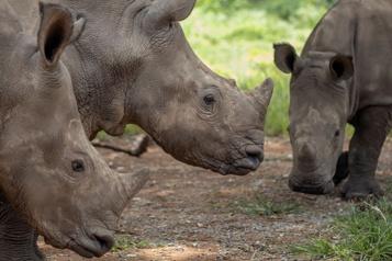 Afrique du Sud: requinquer les bébés rhinocéros)