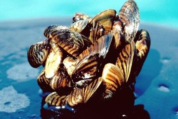 Une espèce invasive de moule découverte dans la rivière Saint-François)