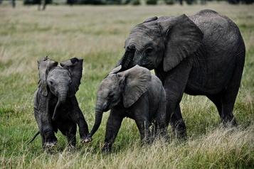 Les animaux herbivores sont plus à risque d'extinction que les prédateurs)