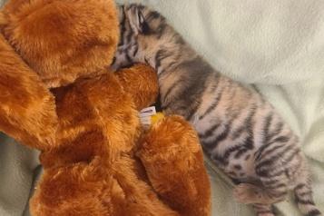 Un tigre en voie de disparition meurt à Toronto)