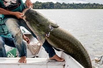 Un poisson géant d'Amazonie prisé par les gastronomes