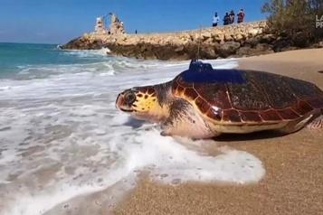 Israël: la tortue « Shlomit » relâchée en mer après sa guérison)