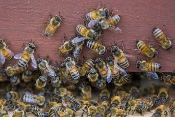 Pesticides «tueurs d'abeilles»  Ottawa renonce à interdire les néonicotinoïdes)