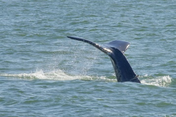 Méditerranée Une baleine grise égarée observée pour la première fois sur les côtes françaises)