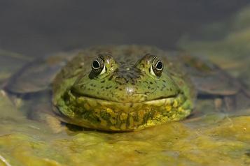 Quand les chercheurs téléphonent aux grenouilles