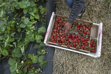 Mais où sont les fraises d'automne?)