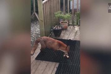 Une famille de renards élit domicile dans un jardin écossais)