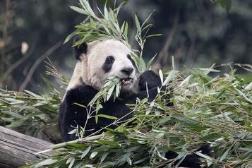 Pandas capricieux: problème de bambou au zoo de Calgary