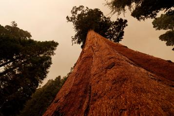 Californie Les pompiers croient pouvoir sauver les séquoias géants des incendies)