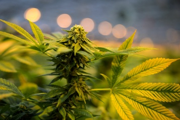 Cannabis Étroite fenêtre pour la légalisation aux États-Unis)