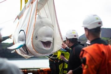 Deux bélugas de Chine arrivent dans leur sanctuaire marin en Islande)