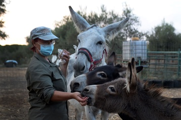 Une thérapie avec des ânes pour apaiser les soignants)