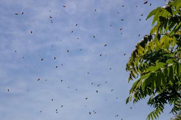 Un apiculteur de la Montérégie perd 600ruches: «Il pleuvait des abeilles»)