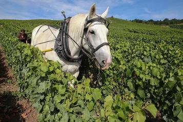 Le cheval est l'avenir de la vigne pour Champagne De Sousa