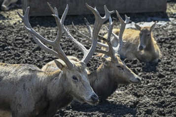Chine: le cerf miraculé qui cache la faune en danger