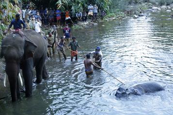 Mort d'une éléphante en Inde: un suspect arrêté)