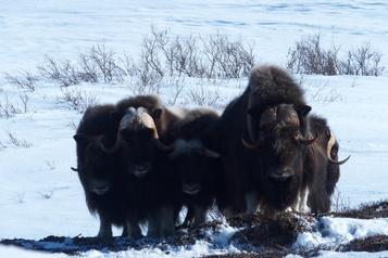 Grand Nord québécois: la croissance dubœuf musqué dérange les Inuits