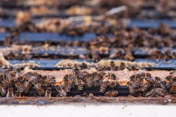 Une autre saison depesticides «tueurs d'abeilles»