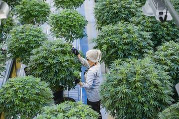 Perte de 1,3milliard pour Canopy Growth au quatrième trimestre)
