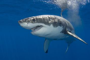 Quatre grands requins blancs aperçus au large des Îles-de-la-Madeleine)