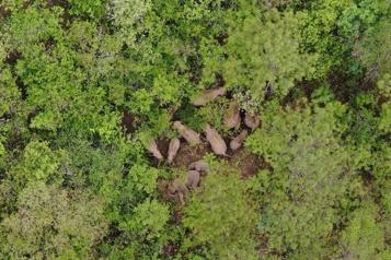 Troupeau migrateur  Chine: un éléphanteau grièvement blessé échappe à la mort)