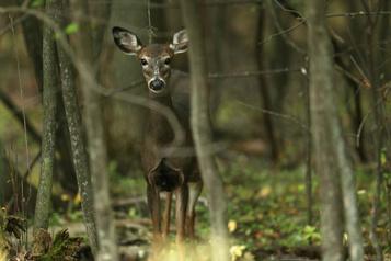Maladie du cerf fou: des chasseurs mécontents