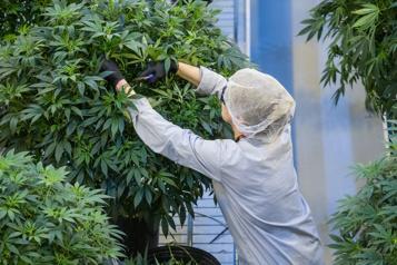 Canopy Growth achètera Supreme Cannabis pour 435 millions)