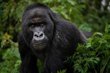 Quatre gorilles tués par la foudre en Ouganda