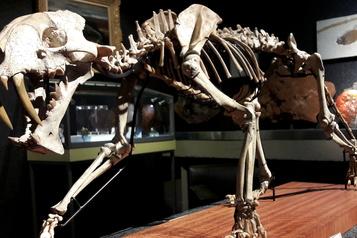 Un fossile de «tigre à dents de sabre» aux enchères à Genève)
