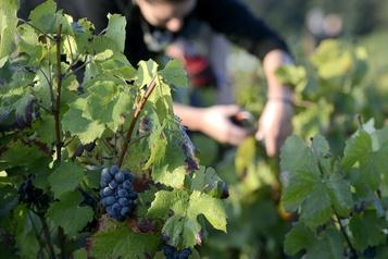 Grêle: la récolte s'annonce plus faible dans le Beaujolais