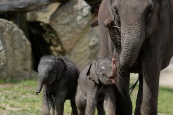 Deux bébés éléphants saluent les visiteurs au zoo de Prague)