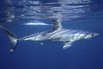 Le déclin des requins laisse un «trou croissant» dans la vie océanique)