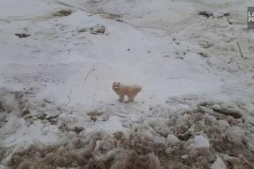 Russie Sauvetage d'un chien bloqué sur la glace)