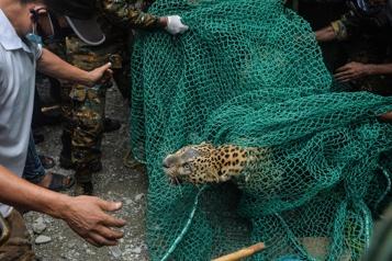 Inde Un léopard sauvage capturé après s'être introduit dans une maison)