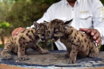 «Pandémie» et «Quarantaine», deux pumas nés dans un zoo mexicain)