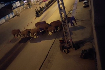 Chine Leur habitat menacé, des éléphants sauvages se font une place en ville)