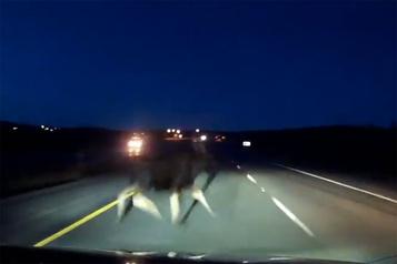 La vidéo d'une collision avec un orignal devient virale