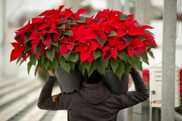 Plantes Sauvez votre poinsettia!)