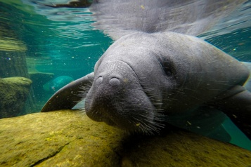 En Floride, l'inquiétante augmentation des morts de lamantins)