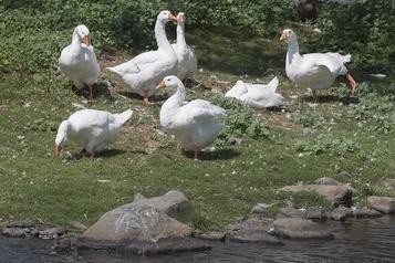Une bernache agressive sur un étang de Dartmouth