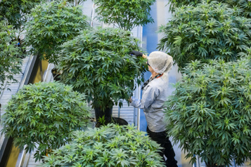 Cannabis Un producteur australien achète une installation de Canopy Growth)