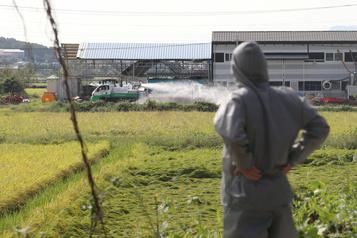 La Corée du Sud confirme un premier foyer de peste porcine