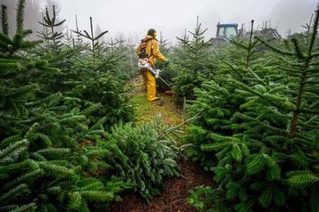 La culture du sapin de Noël confrontée au réchauffement climatique