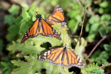 Mexique : tué pour avoir protégé les papillons monarques