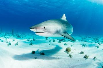 Des requins-tigres forcent la fermeture de plages à Hawaii