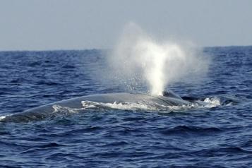 Percutée par un navire Un cadavre de rare baleine bleue s'échoue sur la côte de Namibie)