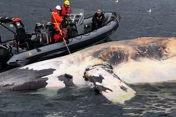 La baleine noire en danger critique d'extinction)